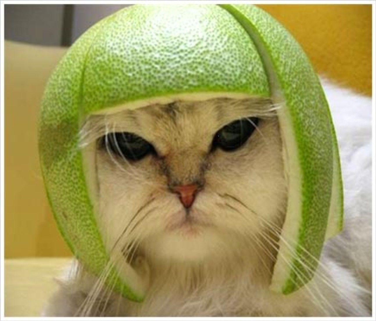 Picture Of Cat With Melon On Head